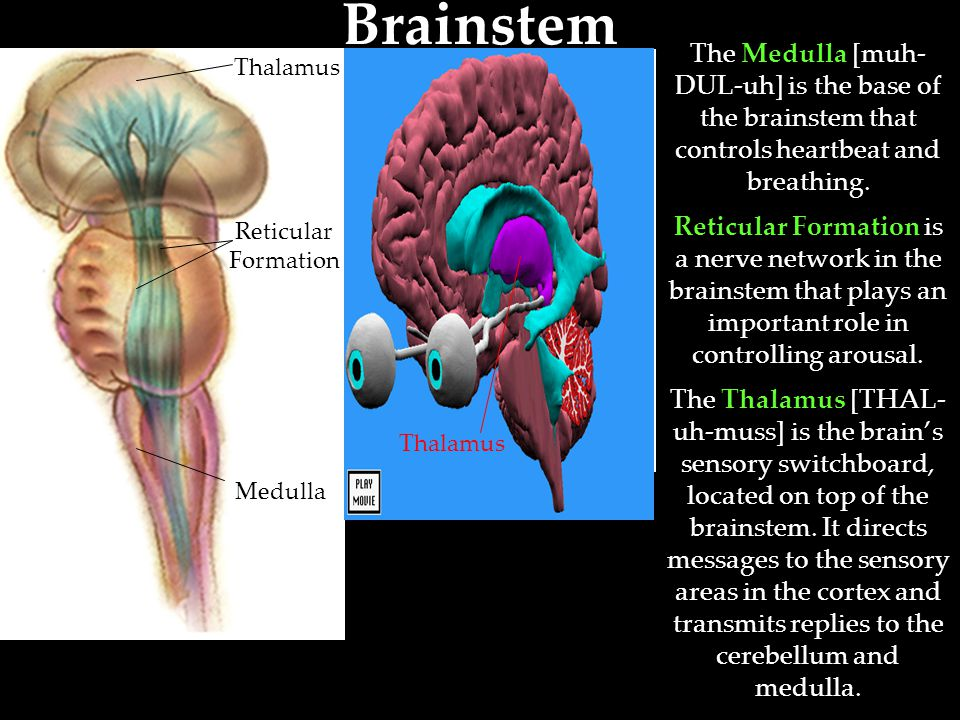 Brainstem The Medulla [muh-DUL-uh] is the base of the brainstem that controls heartbeat and breathing.